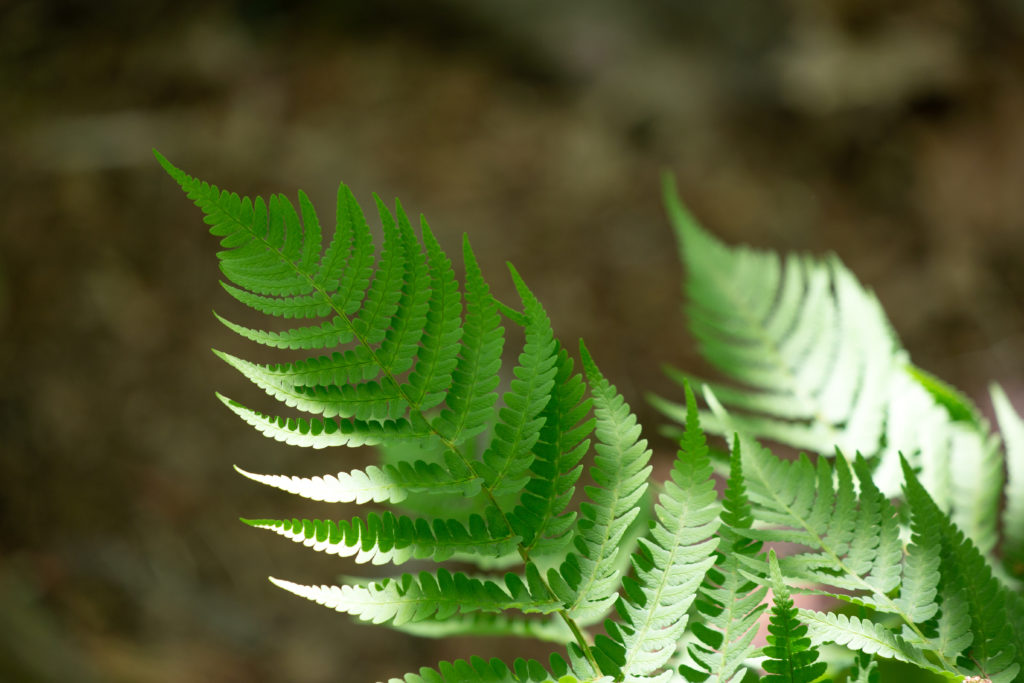 Ferns Touched by Sunlight