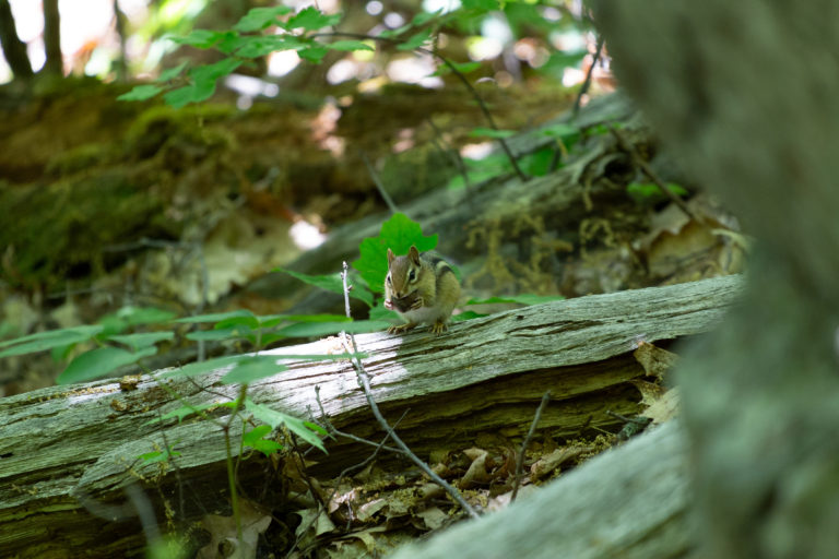 Chipmunk on Old Fallen Log