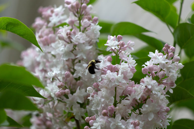 Bumble Bee on Lilac Flowers