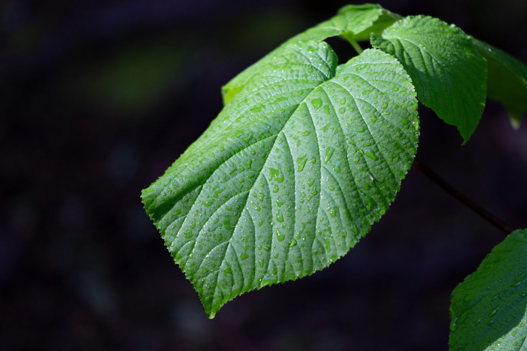 Drooping Leaf Against Dark Background