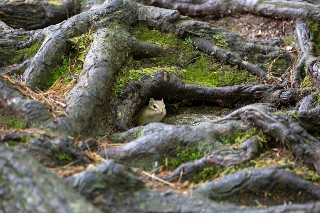 Chipmunk Peeking From Under Roots