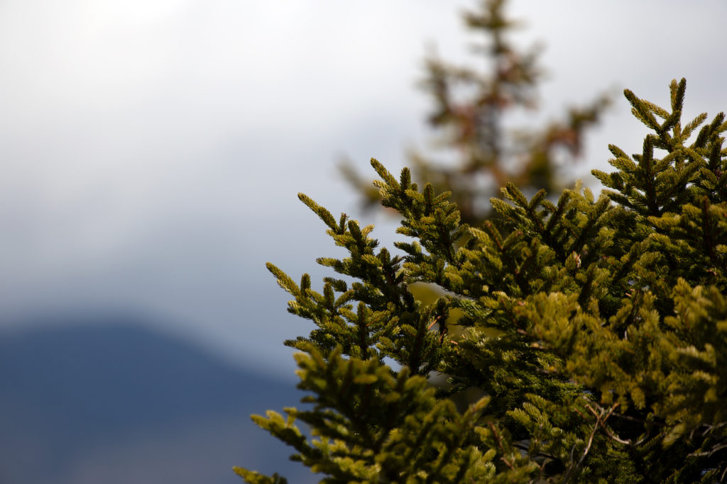 Bokeh Evergreen on Mountain