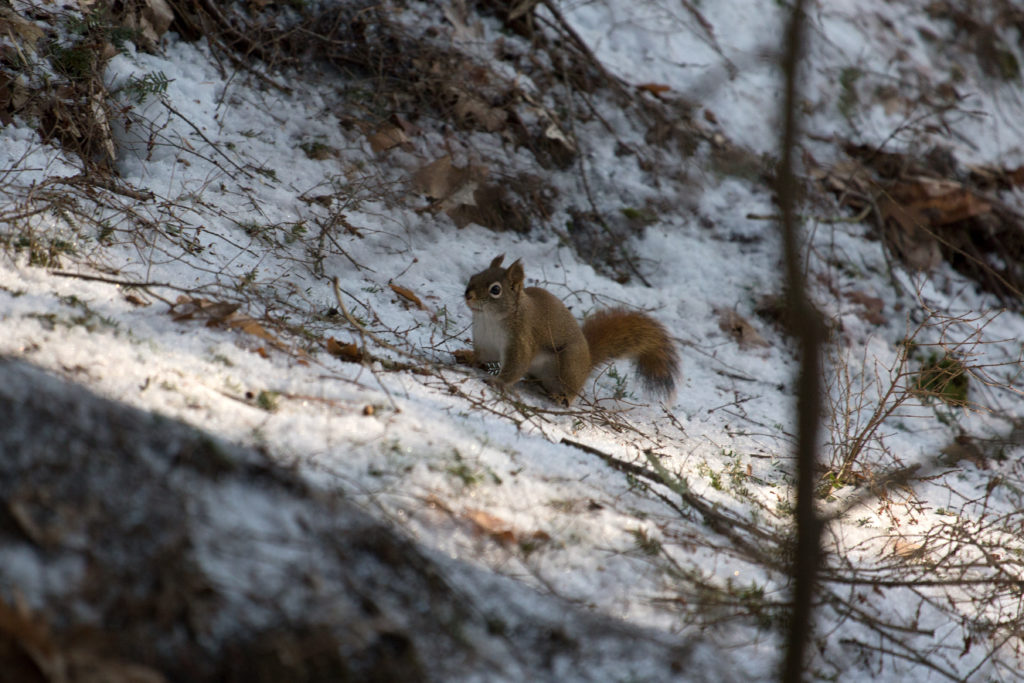 Red Squirrel in the Shadows