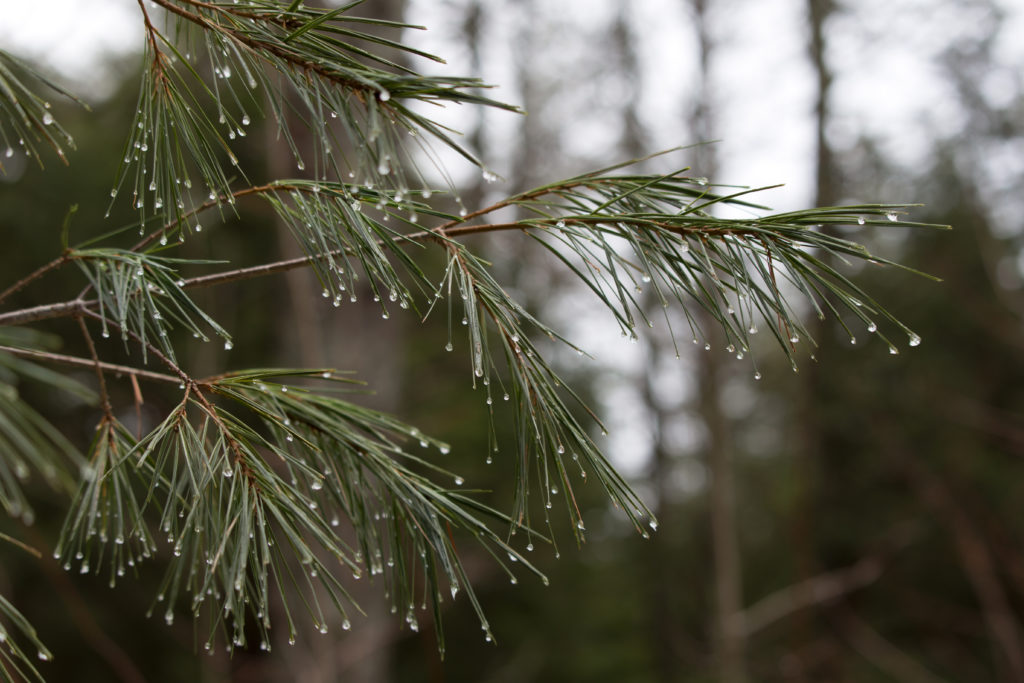 Wet Pine Needles in Forest