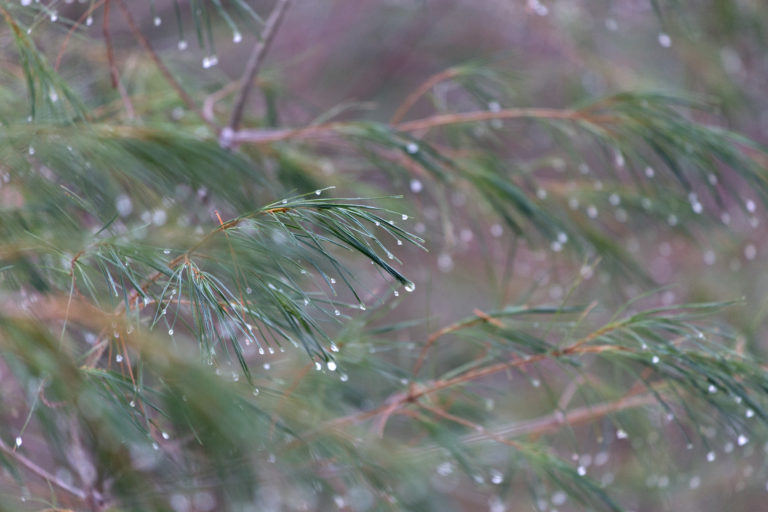 Dew Drops on Pine Needles
