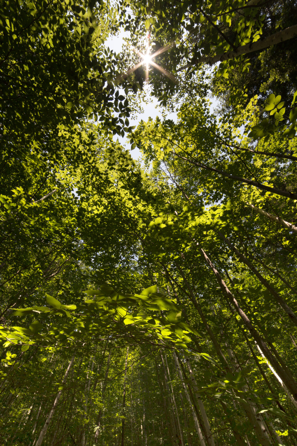 Looking Up at the Forest Canopy