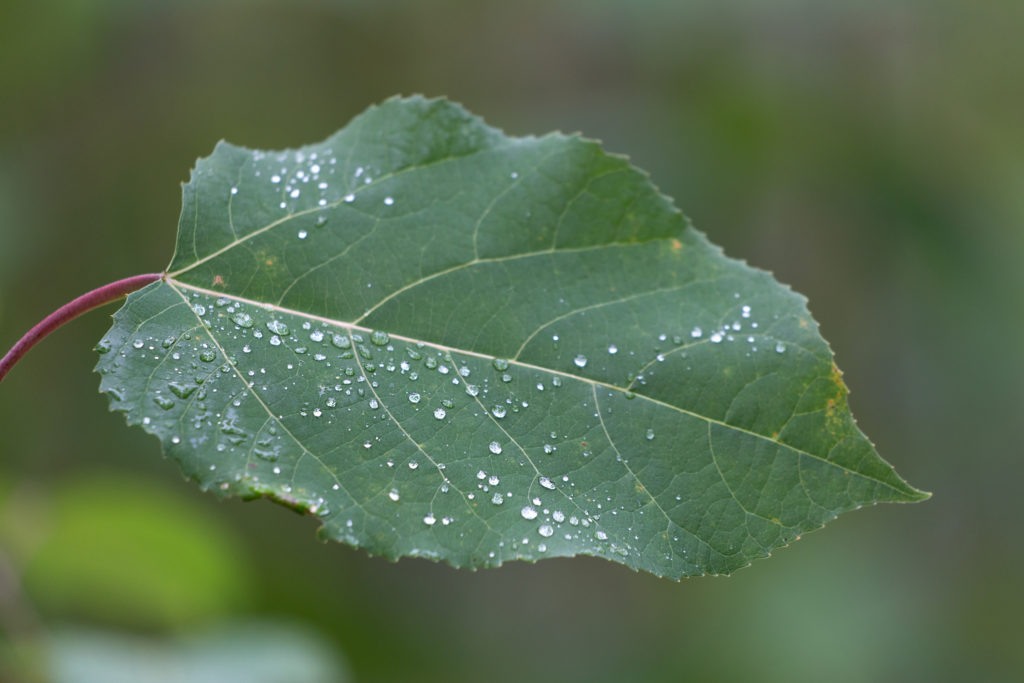 Single Leaf with Dew Drops