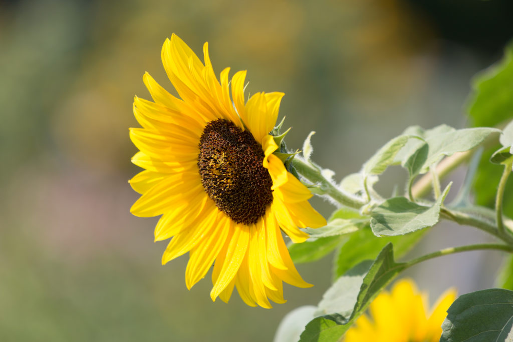 Sunflower Searching for Sun