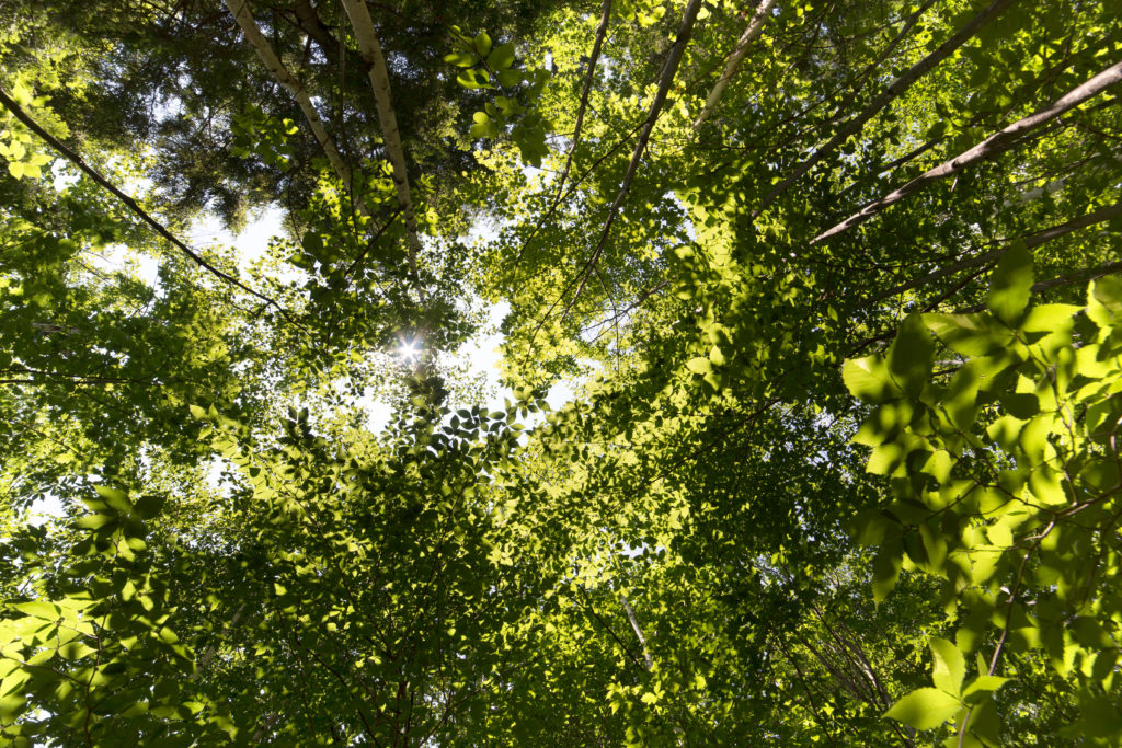 Looking Up Through Layers of Green Leaves