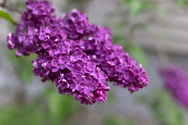Vibrant Purple Lilacs