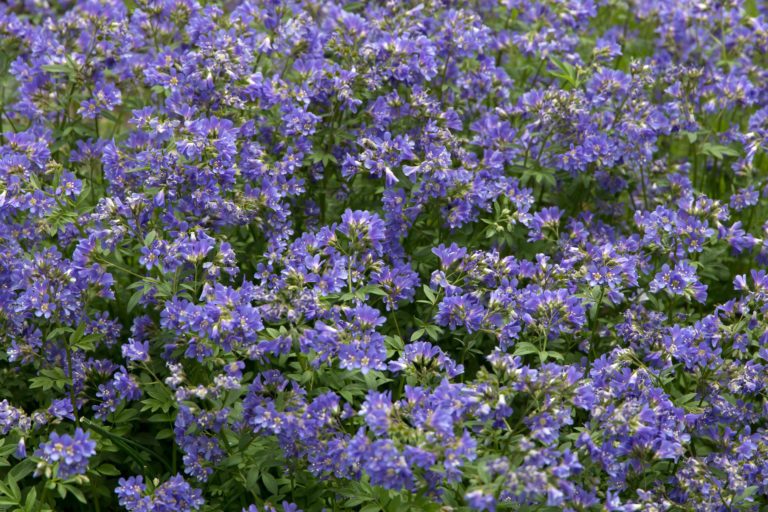A Blanket of Small Purple Flowers