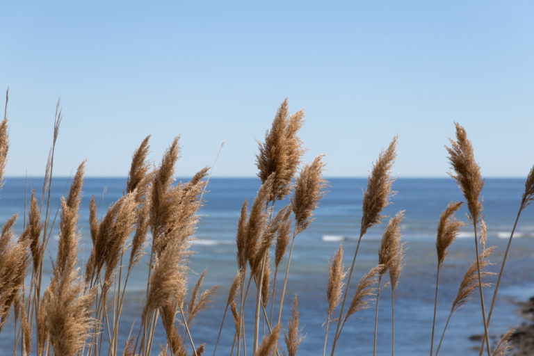 Tall Grass Along the Sea