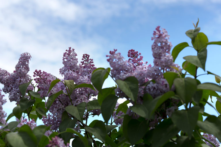 Lilacs Against a Summer Sky