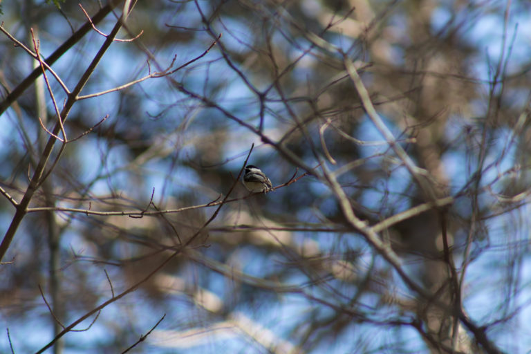 Chickadee in Bare Tree