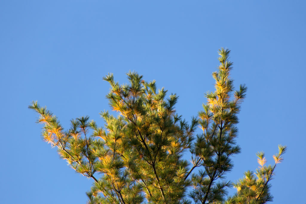 Sunlit Pine Branches