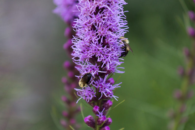 Liatris with Bumblebees