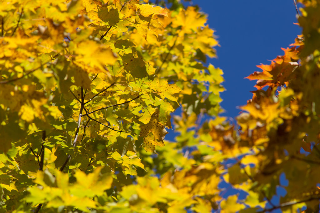 Bright Golden Leaves Against Bright Blue Sky