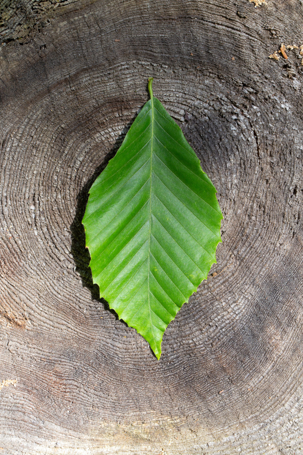 Green Beech Leaf