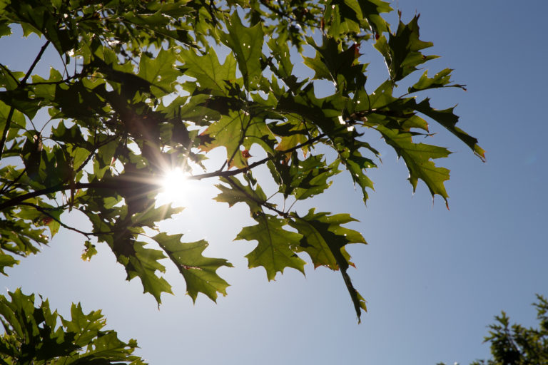 Sunshine Behind Oak Leaves
