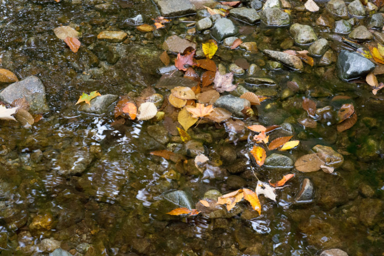 Fallen Leaves in Stream