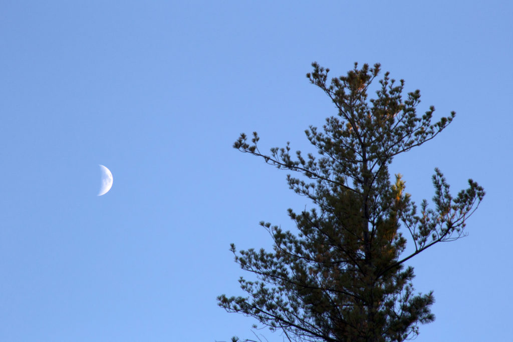 Crescent Moon and Top of Pine Tree
