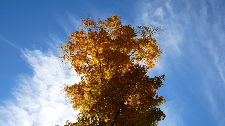 Clouds Above a Maple Tree
