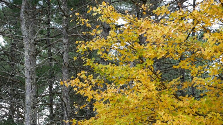 Falling Autumn Maple Leaves and Swaying Pine Trees