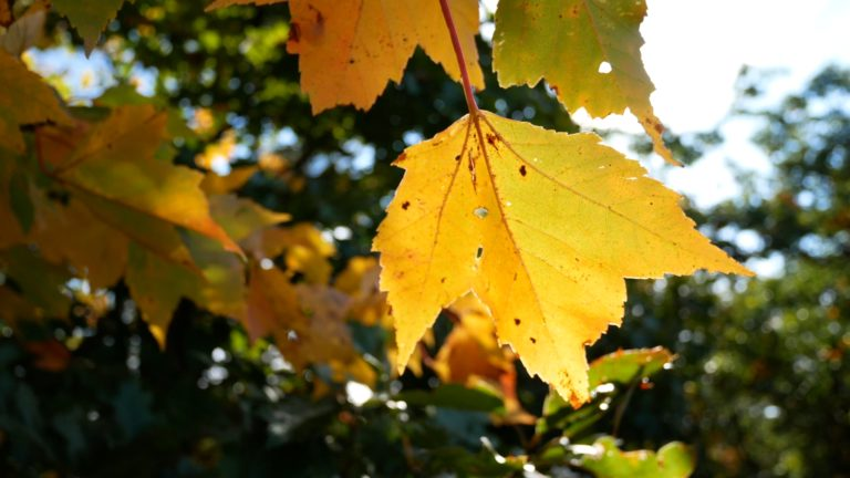 Maple Leaf in the Sunlight